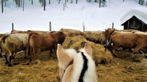Ranch herd